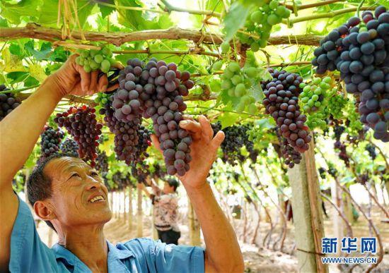 (社会)(1)葡萄栽植盘活山村经济