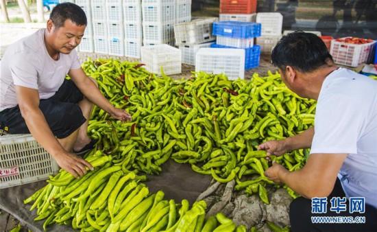(经济)(1)河北枣强:绿色有机蔬菜供应京津市场