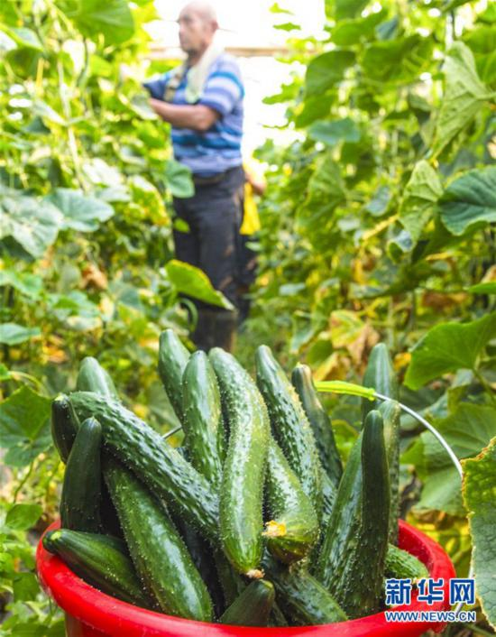 (经济)(2)河北枣强:绿色有机蔬菜供应京津市场