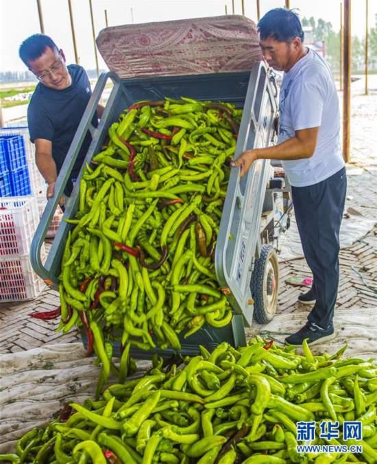 (经济)(3)河北枣强:绿色有机蔬菜供应京津市场