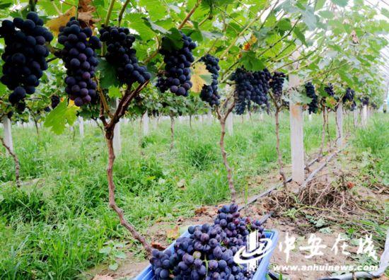又到葡萄飘香时 果树合作富农家