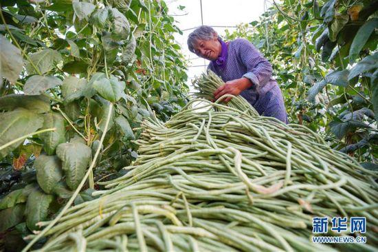 (经济)(2)河北内丘:设施农业助推乡村振兴