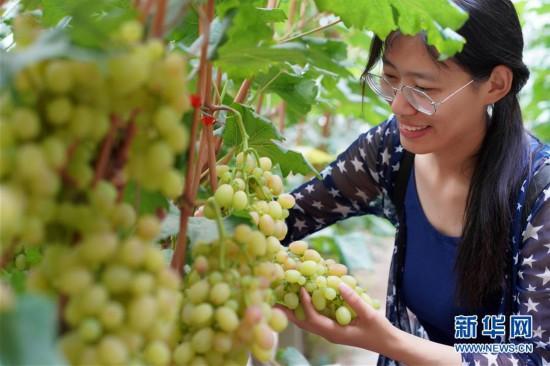 (经济)(4)河北内丘:设施农业助推乡村振兴