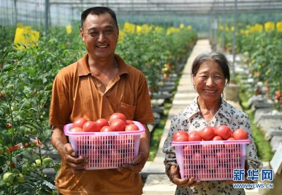 (走底层 听民声)(1)无土栽培的西红柿熟了