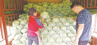 冬季快速瘦身百里杜鹃百纳乡1000吨卷心菜销往越南