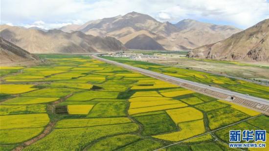 (美丽中国)(1)西藏:油菜花开似金毯