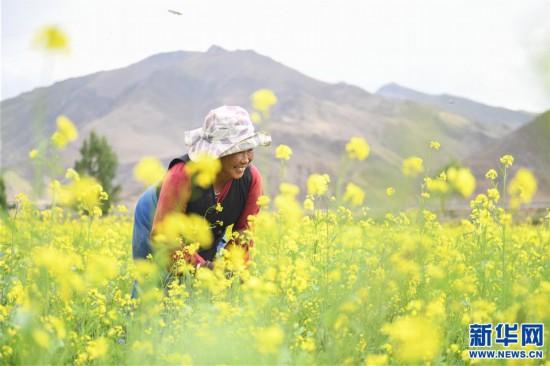 (美丽中国)(2)西藏:油菜花开似金毯