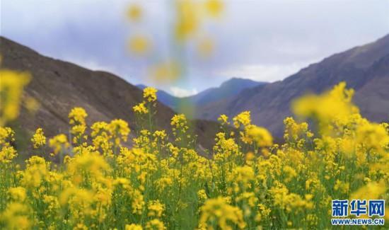 (美丽中国)(6)西藏:油菜花开似金毯