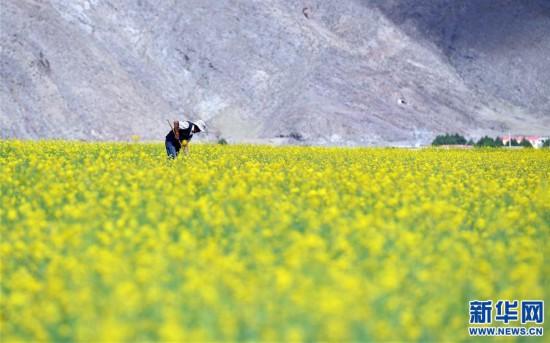 (美丽中国)(5)西藏:油菜花开似金毯