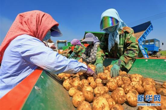 """(经济)(3)河北滦南:""""订单土豆""""助农增收"""