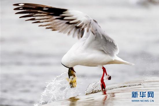(社会)(13)青海湖迎来湟鱼洄游季
