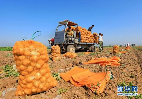 """(经济)(4)河北滦南:""""订单土豆""""助农增收"""