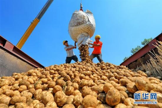 """(经济)(2)河北滦南:""""订单土豆""""助农增收"""