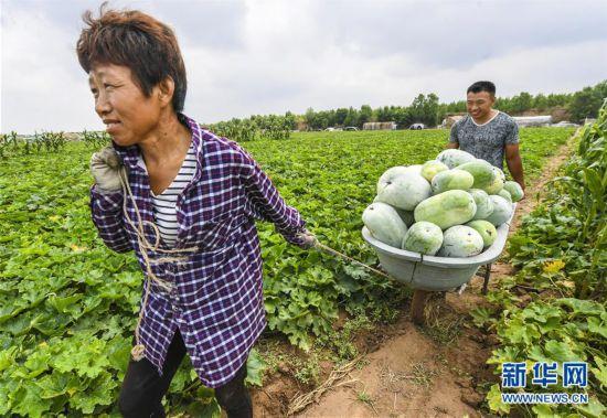 (经济)(4)河北故城:冬瓜丰收助增收