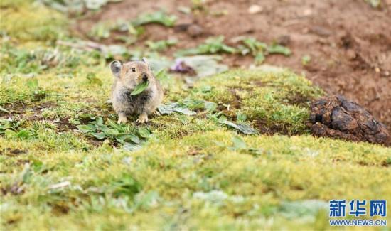 (环境)(1)高原鼠兔:青藏高原特有的小精灵