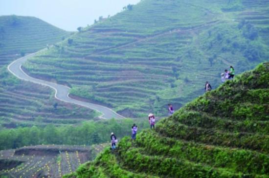 """7月7日,农民在贵州省普安县地瓜镇屯上村的""""扶贫茶园""""里给茶苗施肥。"""