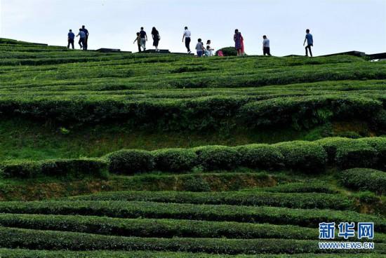 #(新华视界)(1)湖北恩施:山区茶园引游客
