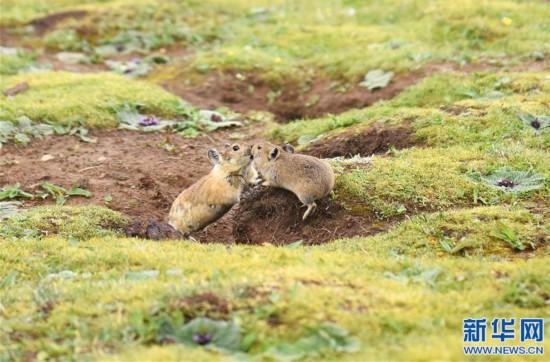 (环境)(3)高原鼠兔:青藏高原特有的小精灵