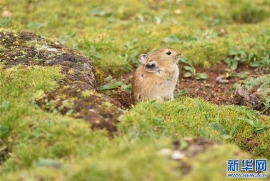 (环境)(2)高原鼠兔:青藏高原特有的小精灵