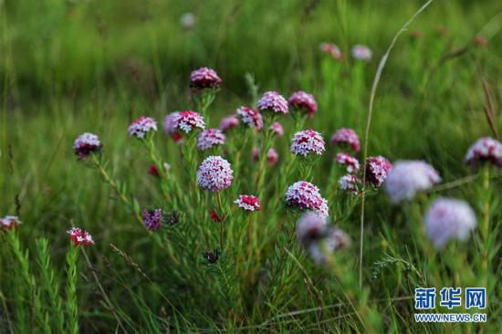 (图文互动)(1)原子城:鲜花开满草原