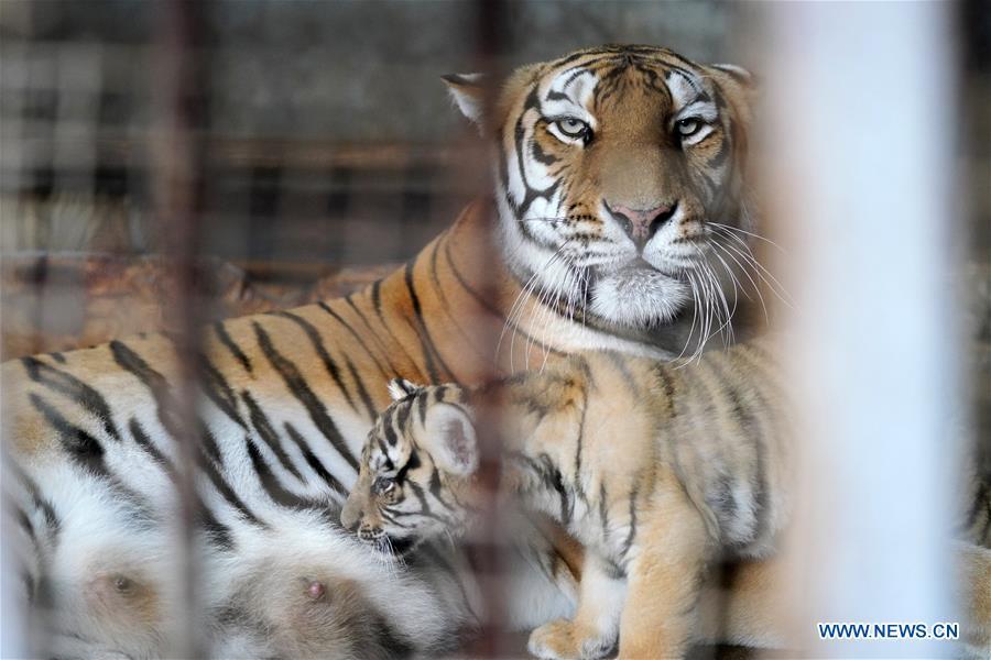 CHINA-HEILONGJIANG-SIBERIAN TIGER CUB (CN)