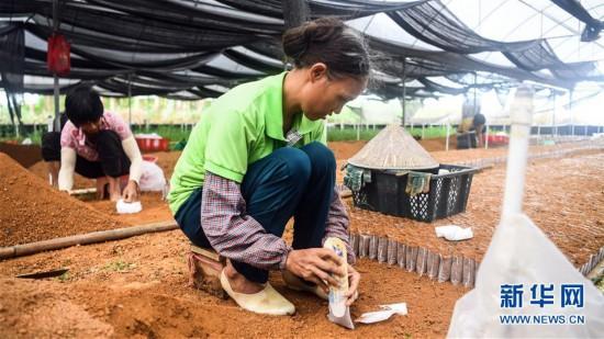 (经济)(1)钦州:特征栽培助力脱贫