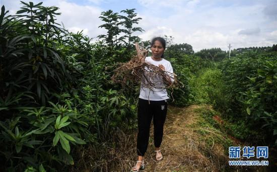 钦州:特色种植助力脱贫