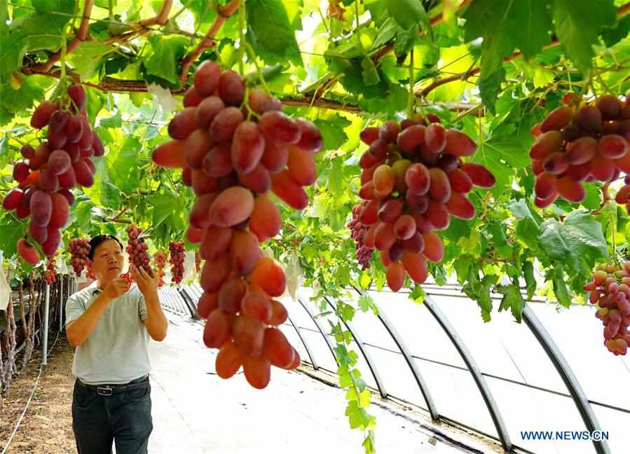 Expert helps farmers upgrade grape cultivation skills in China's Hebei