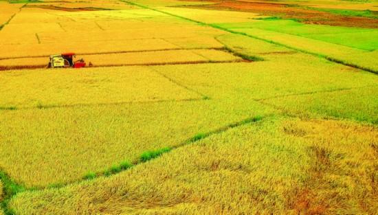 盛夏,大地金黄一片,又是水稻成熟收获季节。