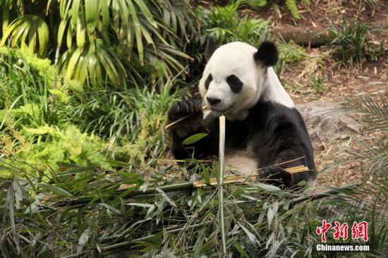 旅加大熊猫人工授精逾三月 是否怀孕尚未知
