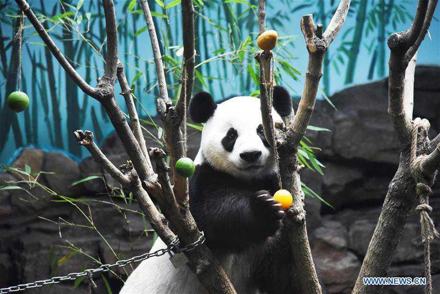 Jinan Wildlife World helps giant panda cool off in summer