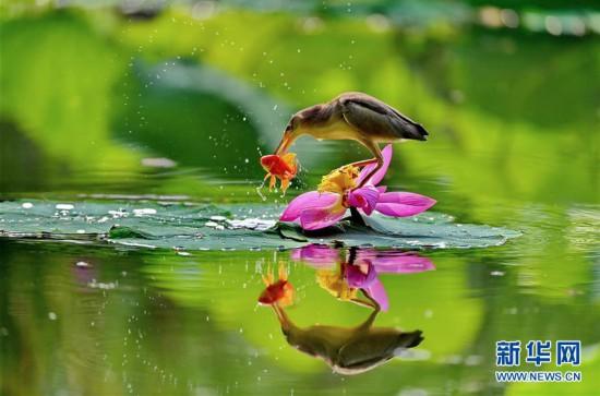 (環境)(1)河北唐山:水鳥戲荷