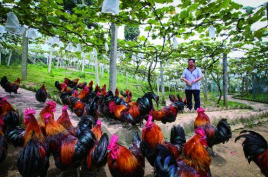 7月16日,潮水村村民李银军在自家的葡萄园给土鸡喂食。石照昌 摄