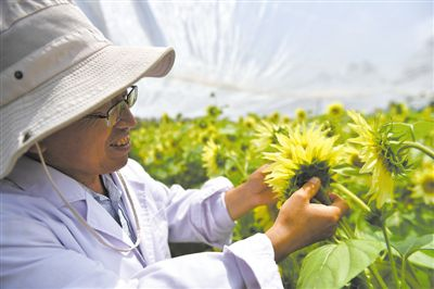 宁夏引进筛选培育观赏向日葵品种