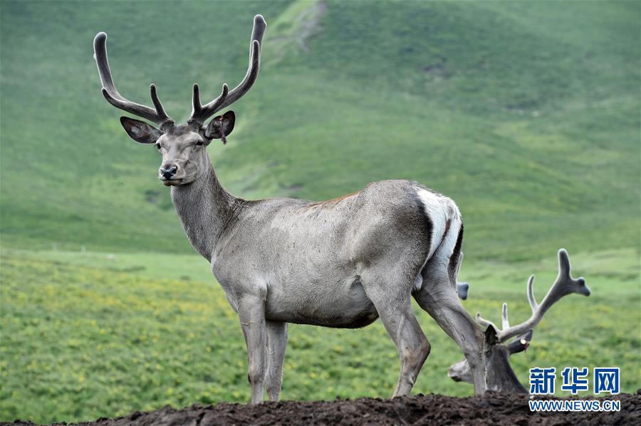 (环境)(1)祁连山下呦呦鹿鸣