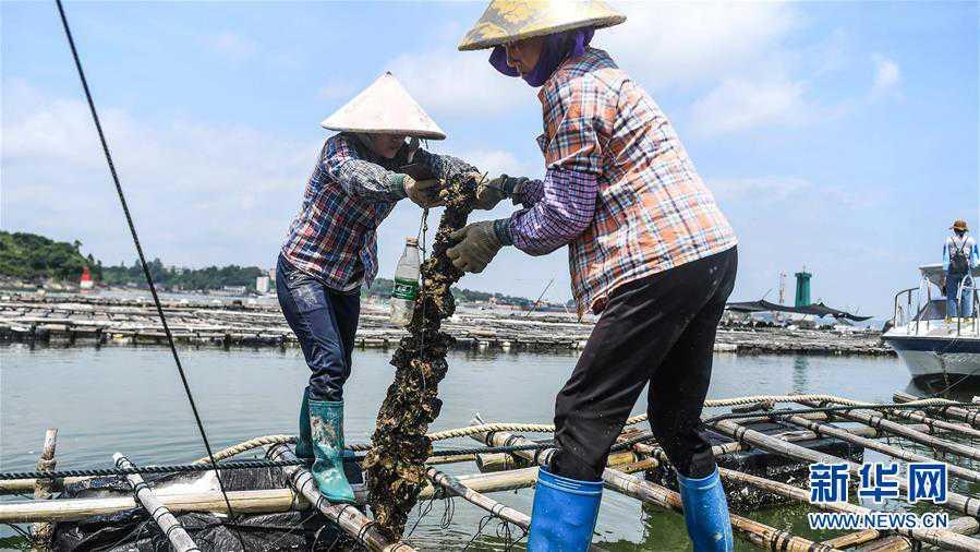 """(经济)(3)广西钦州建海洋牧场 打造生态""""蓝色粮仓"""""""