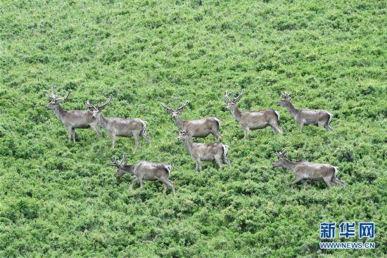 (環境)(6)祁連山下呦呦鹿鳴