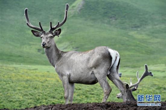 (環境)(1)祁連山下呦呦鹿鳴