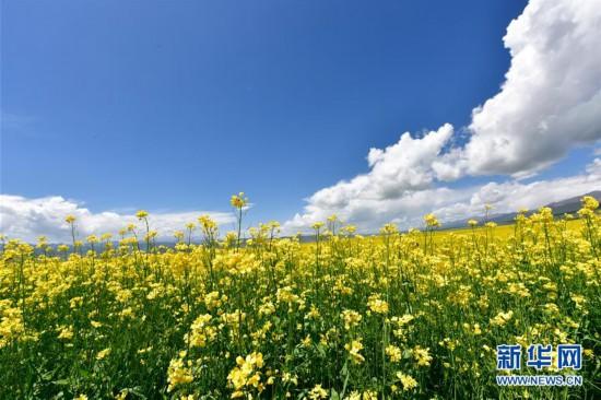 (美丽中国)(7)青海门源:油菜花开引客来