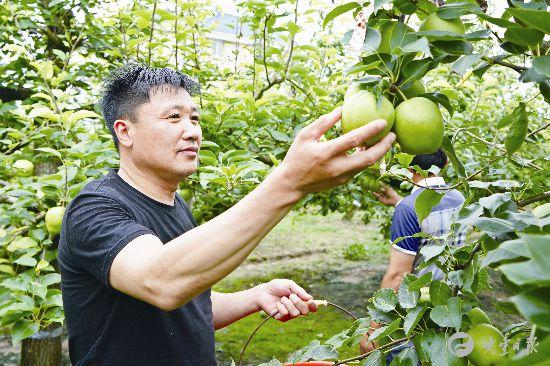 大丰早酥梨进入成熟期 果农抢抓时机采摘