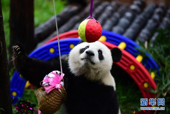 """(社会)(3)大熊猫""""初心""""迎来3岁生日"""