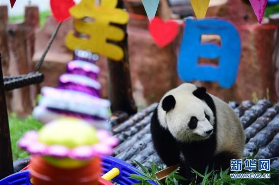"""(社会)(4)大熊猫""""初心""""迎来3岁生日"""