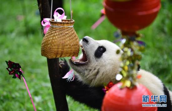 """(社会)(2)大熊猫""""初心""""迎来3岁生日"""