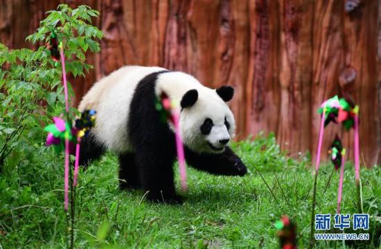 """大熊貓""""初心""""迎來3歲生日"""