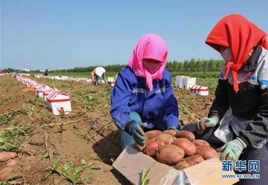 (经济)(1)坝上早熟马铃薯丰收