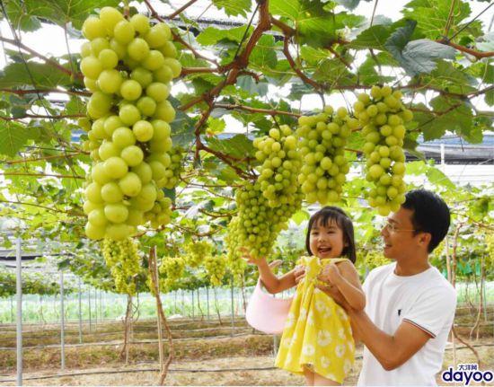 """广州南沙葡萄新贵""""阳光葡萄""""熟了,快去采摘,手慢无!"""