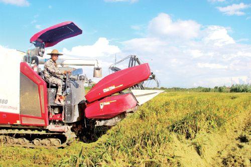 浙江台州种粮大户两千亩早稻开割