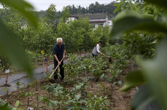 8月5日,盛鑫红仁核桃专业合作社的社员在为红仁核桃幼苗松土。