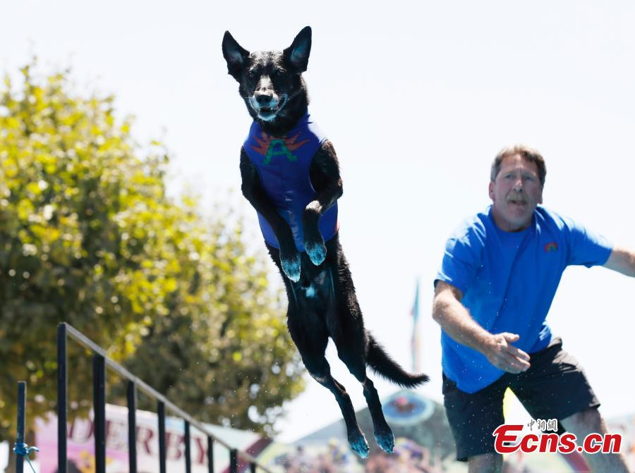 Dogs and pigs compete at Santa Clara County Fair