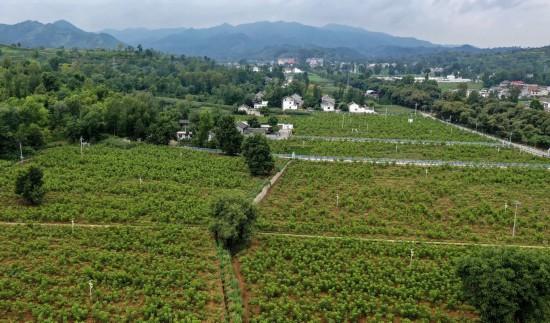8月5日无人机拍摄的陕西洛南县景村镇八一村千亩红仁核桃示范基地。
